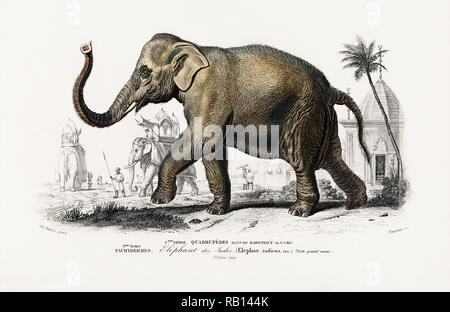 Asiatic elephant (Elephas maximus) indicus illustrated by Charles Dessalines D' Orbigny (1806-1876). Digitally enhanced from our own 1892 edition of Dictionnaire Universel D'histoire Naturelle. - Stock Photo