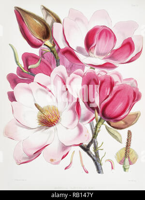 Campbell's magnolia (Magnolia Campbellii), Flowering plant from Illustrations of Himalayan plants (1855) by W. H. (Walter Hood) Fitch (1817-1892). Original from The New York Public Library. Digitally enhanced by rawpixel. - Stock Photo