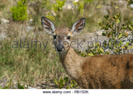 Endangered Key Deer on Big Pine Key in the Florida Keys - Stock Photo