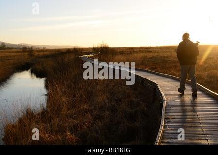 Man person walking on boardwalk through Cors Caron National Nature Reserve in late evening light Tregaron Ceredigion Wales Cymru UK - Stock Photo