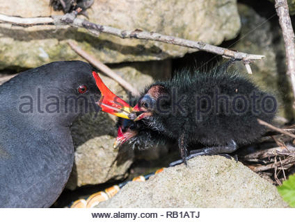 Common Moorhen (Gallinula chloropus) chick being passed food by an adult Moorhen in Spring in West Sussex, England, UK. Bird feeding chick beak. - Stock Photo