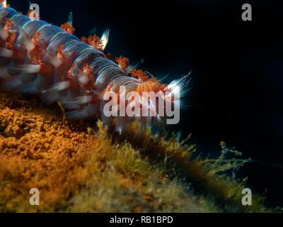 Bearded Fireworm (Hermodice carunculata) - Stock Photo