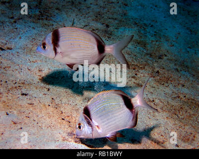A pair of Common Two-Banded Sea Bream (Diplodus vulgaris) in Malta - Stock Photo