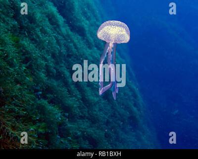 Mauve Stinger jellyfish (Pelagia noctiluca) - Stock Photo