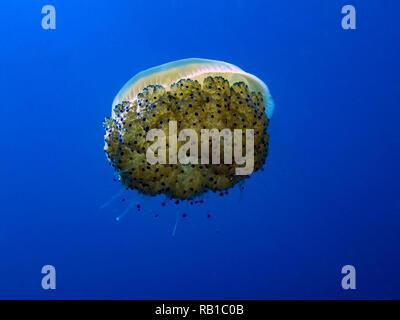 Fried Egg Jellyfish (Phacellophora camtschatica) - Stock Photo