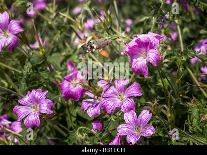 Pink hibiscus flowers growing naturally in a garden - Stock Photo