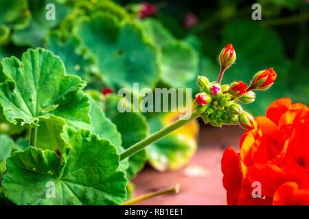 Geranien in einem privaten Garten - Stock Photo
