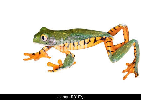 Super Tiger-leg monkey tree frog (Phyllomedusa tomopterna) isolated on white background, clipping path attached. - Stock Photo