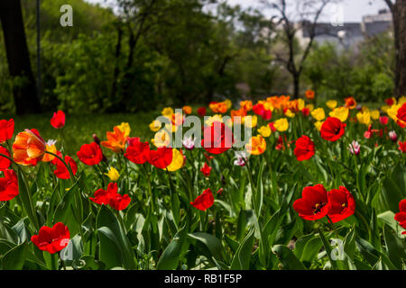 Beautiful tulips flowers background. Floral spring background. Field of tulips in bloom on a spring warm and sunny afternoon. - Stock Photo
