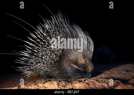 Cape porcupine or South African porcupine (Hystrix africaeaustralis) - Okonjima Nature Reserve, Namibia, Africa - Stock Photo