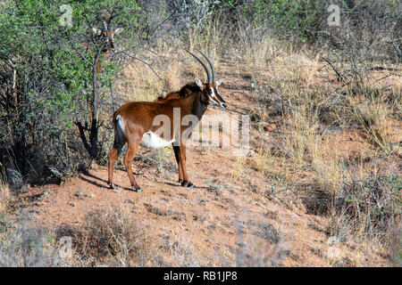 Sable antelope (Hippotragus niger) female - Okonjima Nature Reserve, Namibia, Africa - Stock Photo
