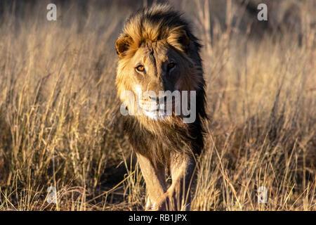 African Lion (Panthera leo) [Captive] - AfriCat Foundation, Okonjima Nature Reserve, Namibia, Africa - Stock Photo