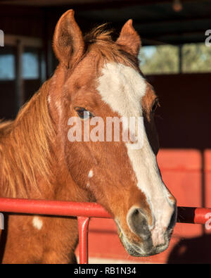 Portrait photo of a tan horse with a white stripe on its nose looking over the top of a red gate in a barn area on a ranch - Stock Photo