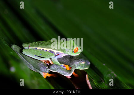 Red-eyed leaf frogs mating in Costa Rican rainforest