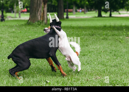 Doberman Pinscher with bandaged ears playing with small dog at park - Stock Photo