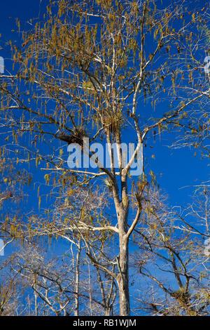 Cypress forest, Big Cypress National Preserve, Florida - Stock Photo