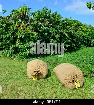 two bags of picked coffee beans in front of coffee trees in Hawaii Big Island - Stock Photo