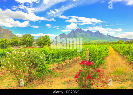 Rows of grapes in picturesque Stellenbosch, near Cape Town, wine region with Thelema Mountain on backdrop. Stellenbosch Wine Routes are one of most popular attractions of South Africa. Summer season. - Stock Photo