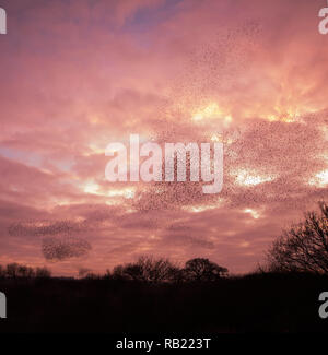 Thousands of Starlings (Sturnus vulgaris) gather in the evening sky and perform a breathtaking murmuration before going to roost, Oxfordshire - Stock Photo