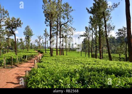 Tea Garden, Munnar, Kerala, India - Stock Photo