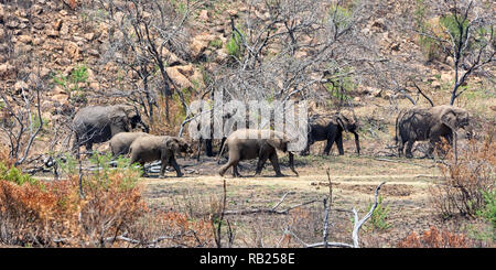 A family herd of African Elephants in Southern African savanna - Stock Photo