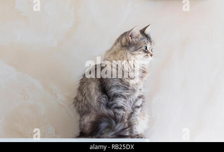 Female cat of siberian breed, grey silver color. Pretty kitten sitting in relax - Stock Photo