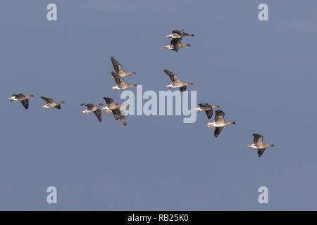 Flock of Pink-footed Geese (Anser brachyrhynchus) in flight, Norfolk, England - Stock Photo