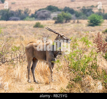An Eland bull eating in Southern African savanna - Stock Photo