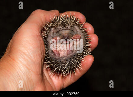 Hedgehog, wild, native, Tiny European baby hedgehog or hoglet, Scientific name: Erinaceus europaeus, curled into a ball and being held in one hand - Stock Photo