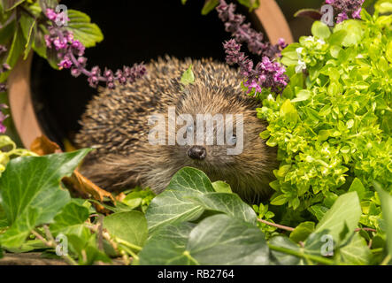 Hedgehog, (Erinaceus Europaeus) wild, native, European hedgehog in clay drainage pipe surrounded by herbs and green foliage.  Looking to the front. - Stock Photo