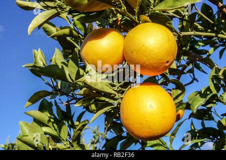 Ripening oranges on tree, Valencia region, Spain - Stock Photo