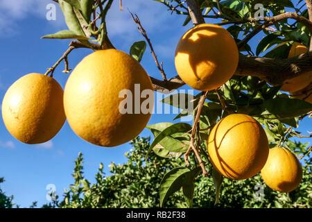 Ripening oranges on tree, Valencia comunidad region Alicante, Spain - Stock Photo