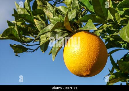 Ripening orange on tree branch, Valencia region, Spain - Stock Photo
