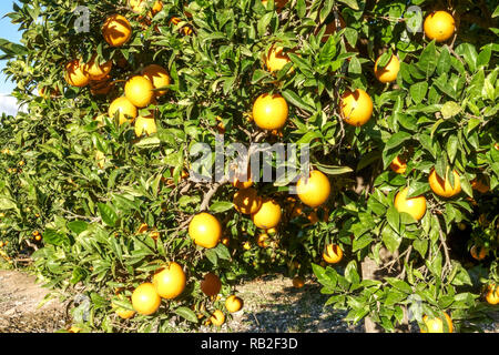 Ripening oranges on tree in orchard, Valencia region, Spain - Stock Photo