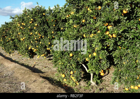 Oranges on tree in orchard, ripening fruits, Valencia region, Spain - Stock Photo