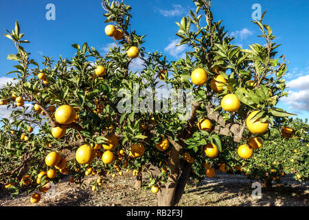 Oranges on tree, ripening fruits, Valencia region, Spain - Stock Photo
