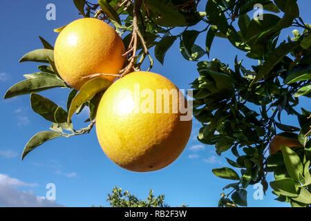 Ripening oranges on sunshine, Valencia, Spain - Stock Photo
