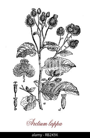 Vintage engraving of arctium lappa or greater burdock, Eurasian plant in the sunflower family with purple flowers and edible roots - Stock Photo