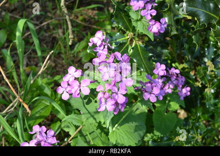 Campion, a woodland wildflower pictured in spring in the Darent Valley, Kent, England - Stock Photo