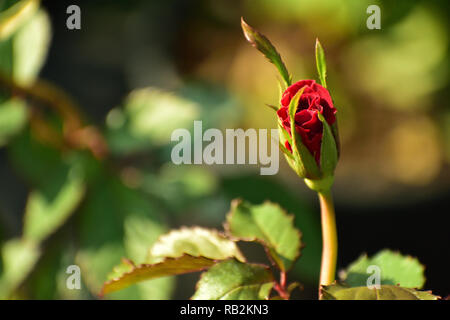 Beautiful rosebud in a garden - Stock Photo