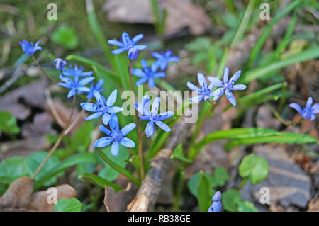 Spring Scilla with blue flowers and buds on sunny meadow in green grass - Stock Photo