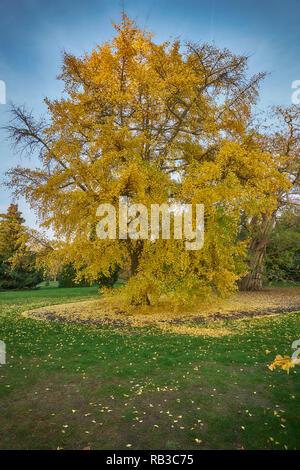 ginko tree kew gardens - Stock Photo