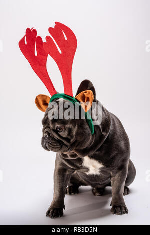 Portrait of sad french bulldog looking down while wearing raindeer. Adorable purebreed shot in the studio - Stock Photo