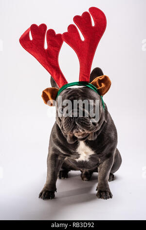 Cute french bulldog wearing raindeer hairband posing in the studio. Purebreed adorable portrait of canine - Stock Photo