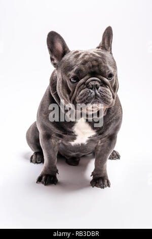 Blue french bulldog shot sitting in a studio. Copy space available for commercial and advertisement - Stock Photo