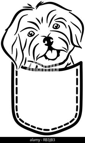 Havanese dog in a pocket - Stock Photo