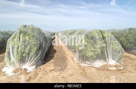 Netting protecting  'Clementine' mandarin orchard against cross-pollination of fruit, Polyethylene fine mesh netting. - Stock Photo