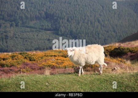 Sheep, Horseshoe Pass, popular with hikers, near Llangollen, Denbighshire, North Wales, Wales, United Kingdom - Stock Photo