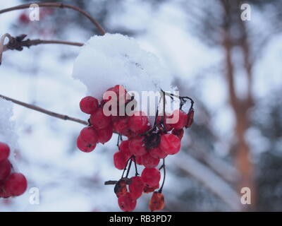 Red bunches of viburnum berries covered with snow. Winter landscape. - Stock Photo