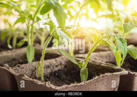 Growing tomato seedlings on the windowsill in peat pots - Stock Photo